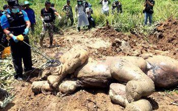 ผ่าซากช้างป่ากุยบุรี ผญบ.คาดถูกเพื่อนช้างทำร้าย แผลอักเสบติดเชื้อตาย