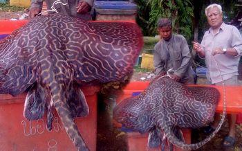 ชาวกระบี่ฮือฮา! พบปลากระเบนเสือดาวยักษ์พันธุ์หายากหนักกว่า70กก.