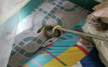 ช็อกกลางดึก! ลูกงูเห่าโผล่ซุกใต้ที่นอน เจ้าของบ้านเผ่นหนีเร่งแจ้งกู้ภัยจับ (ชมคลิป)