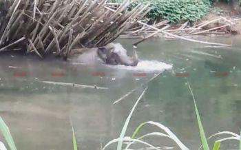 ยังไม่ไปไหน! ช้างป่าเล่นน้ำเริงร่าอยู่ในคลองนางยอน วอนเร่งผลักดันเข้าป่าลึก