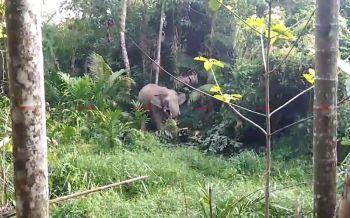 อุทยานศรีพังงาเตือน! ช้างป่าหลงโขลงอาละวาดทำลายข้าวของ จนท.เร่งช่วยเหลือชาวบ้าน