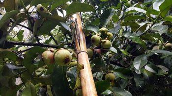 \'มังคุด\' ราชินีแห่งผลไม้ที่กระบุรีชุดแรกชาวสวนเริ่มเก็บออกขายแล้ว