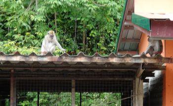 กลัวลิงมากกว่าโจร! ชาวบ้านจี้รัฐหาแหล่งอาหารสมบูรณ์ก่อนนำฝูงจ๋อไปปล่อย (ชมคลิป)