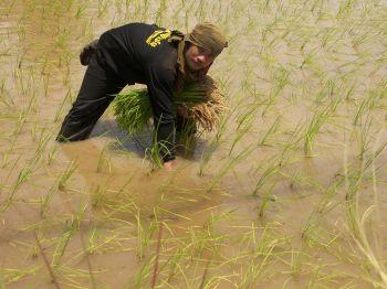 \'เกษตรกร\'อำนาจเจริญเร่งดำนา  หวั่นฝนทิ้งช่วงข้าวแห้งตาย