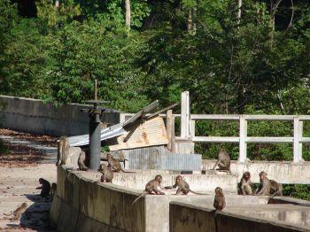 ลิงแสมวัดป่าศิลาวิเวกสุดแสบ ขโมยของ-สร้างปัญหาให้กับชาวบ้าน