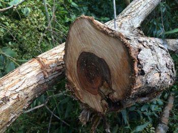 \'แก๊งมอดไม้\'สุดเหิม ลักลอบตัด\'ไม้พะยูง\'ท่ามกลางสายตาชาวบ้าน