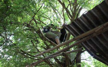 ไม่รอด!  รวบหนุ่มลักลอบปลูกกัญชาบนต้นมะขาม อ้างเพื่อรักษาโรค