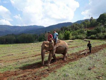 \'ชาวปกาเกอะญอ\'อมก๋อย  ไถนาด้วยช้างสืบสานประเพณีเก่าแก่กว่าร้อยปี