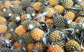นำร่อง3จว.แปรรูปสับปะรดผลิตอาหารเลี้ยงโคนม เพิ่มน้ำนมดิบ แก้ล้นตลาด