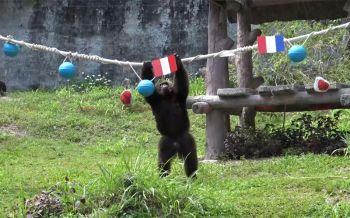 \'ไอ้จ้อน\'ลิงชิมแปนซีแสนรู้ ทายผลบอลโลกการแข่งขันระหว่าง\'ฝรั่งเศส-เปรู\'คืนนี้รู้กันแม่นไม่แม่น!