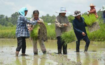 เกษตรบุรีรัมย์ส่งเสริมชาวนาปลูกข้าวแบบโยน ลดต้นทุนผลผลิตสูงคุมวัชพืชง่าย