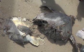 สลดตัวที่5! พบซาก\'เต่าตนุ\'ถูกใบพัดเรือตัดขาดสองท่อนตายเกยหาดสมุย