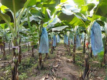 รายงานพิเศษ : 'สกก.ศรีเสลี่ยม จำกัด'ปลูกกล้วยหอมเขียวคาเวนดิชส่งออก  ตอบโจทย์ตลาดคนรักสุขภาพ-สร้างรายได้ตลอดปี