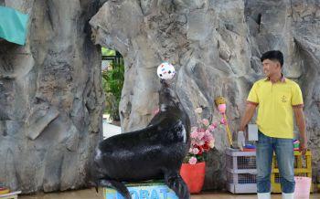 น่ารักเว่อร์! \'แมวน้ำแสนรู้\'สวนสัตว์โคราชเสี่ยงทายปีนี้ทีมชาติฝรั่งเศษคว้าแชมป์บอลโลกชัวร์