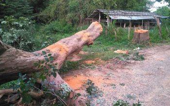 โจรแสบ! ลอบตัดไม้พะยูงอายุกว่า100ปีกลางวันแสกๆ ตร.รวบทันควัน4ราย