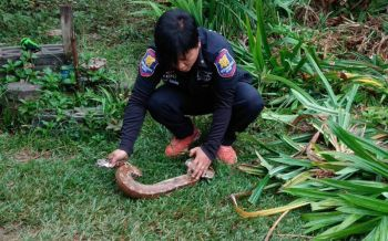 ชาวบ้านผงะ'งูหลาม'โผล่ข้างบ้าน กู้ภัยเตือนแหล่งซ่อนตัวเหล่าอสรพิษ