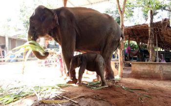 \'ชาวบ้านตากลาง\'ทำพิธีรับขวัญลูกช้างสมาชิกใหม่ พร้อมตั้งชื่อ\'พลายบุญเหลือ\' (ชมคลิป)