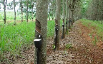 ชาวสวนยาง3จว.ชายแดนใต้ร่วมไทยนิยมฯ ลดพื้นที่ปลูก ทำเกษตรผสมผสาน