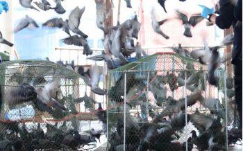 กทม.เข้มมาตรการคุมนกพิราบ วอนห้ามให้อาหาร-ป้องกันแพร่เชื้อสู่คน