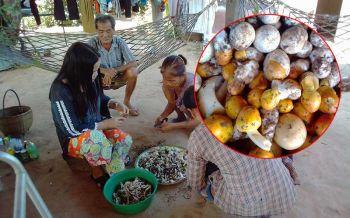 ชาวบ้านแห่เก็บเห็ดระโงก-เห็ดโคน  สร้างรายได้งามกิโลละ 200 บาท